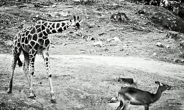 giraffe-mammal-wildlife-neck-safari picture material