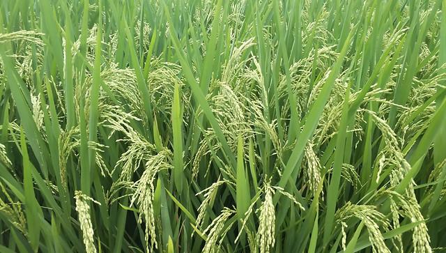 稻谷 picture material