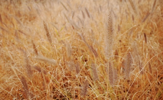 wheat-straw-cereal-crop-dog-#39;s-tail-grass picture material