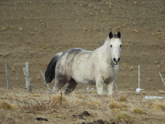mammal-cavalry-horse-animal-mare picture material
