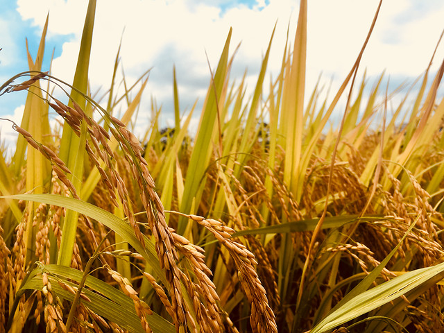 cereal-wheat-field-straw-pasture picture material