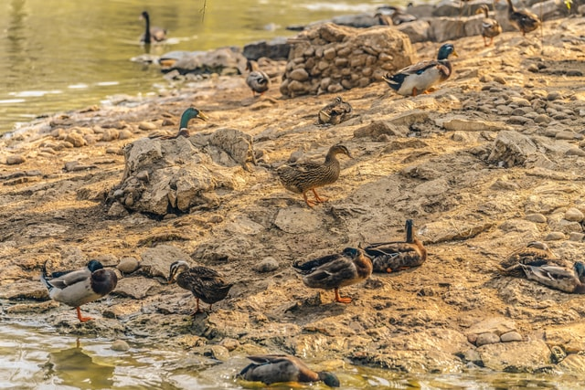 there-is-a-group-of-wild-ducks-resting-on-the-river-beach-there-was-a-flock-of-wild-ducks-resting-on-the-beach picture material
