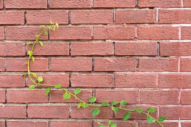 a-green-vine-on-a-red-wall-a-green-vine-on-the-red-wall 图片素材