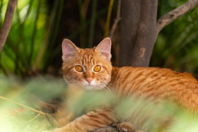 capture-the-stray-cat-orange-cat-catch-the-stray-cat-orange-cat picture material