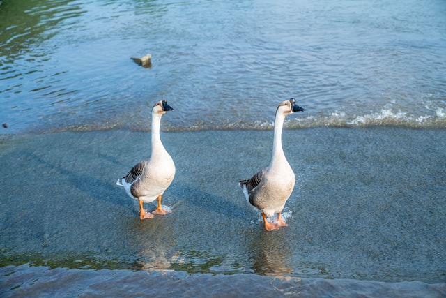a-fowl-goose-strolling-by-the-water picture material