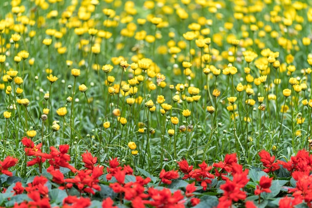 red-and-yellow-wildflowers-of-the-field picture material