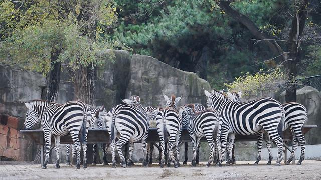 wildlife-zebra-zoo-safari-grass picture material