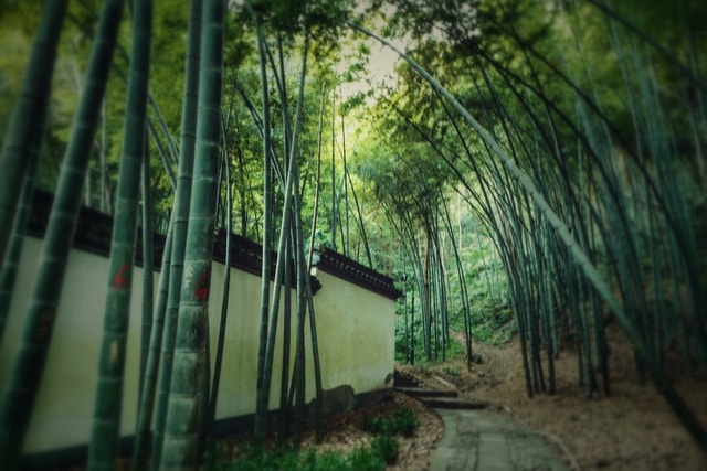 nature-bamboo-tree-leaf-morning picture material