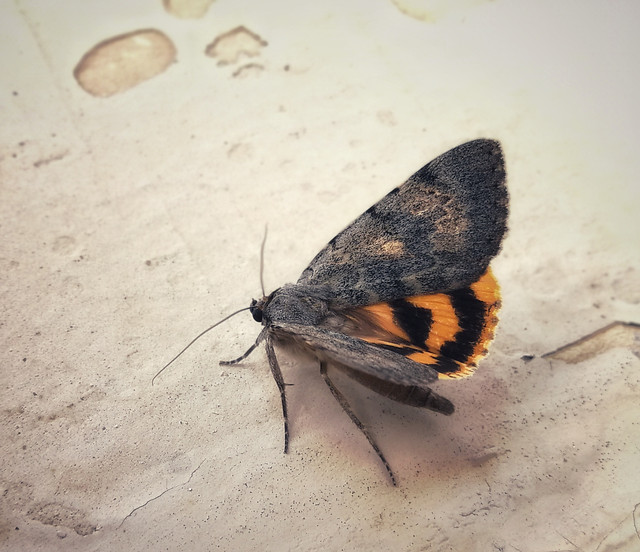 insect-moth-butterfly-invertebrate-wildlife picture material