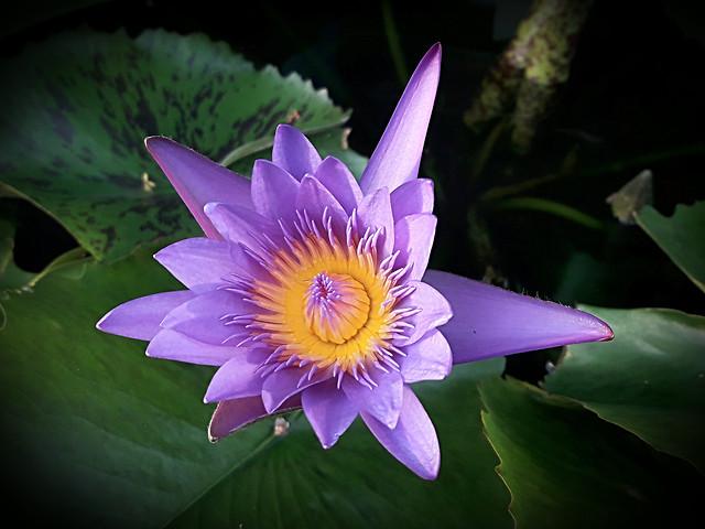 lotus-flower-plant 图片素材