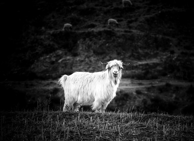 sheep-no-person-mammal-goat-black picture material