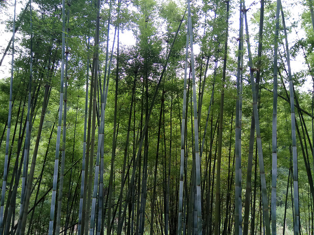 wood-nature-bamboo-leaf-lush picture material