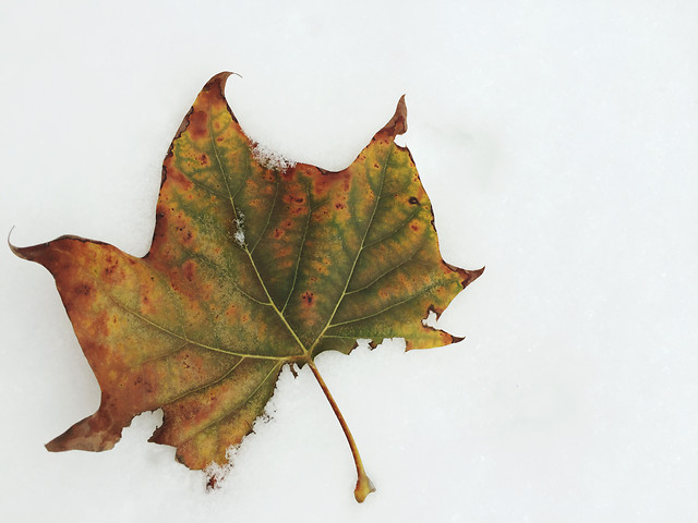 leaf-fall-no-person-maple-tree picture material