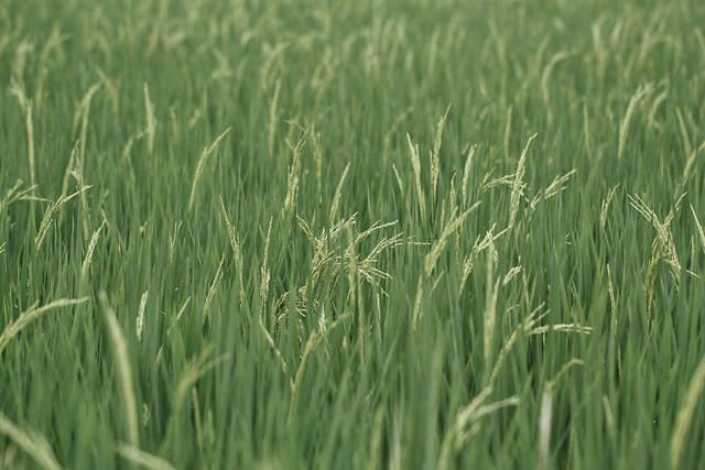 growth-cereal-field-grass-pasture picture material