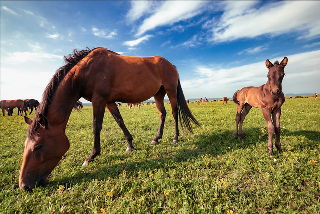 mammal-mare-pasture-horse-grassland picture material