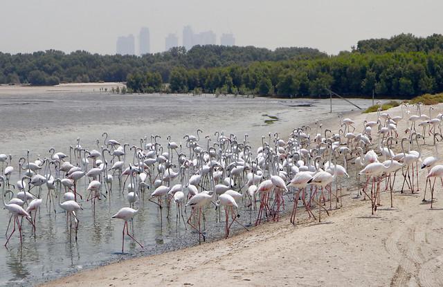 flamingo-wildlife-neck-bird-nature picture material