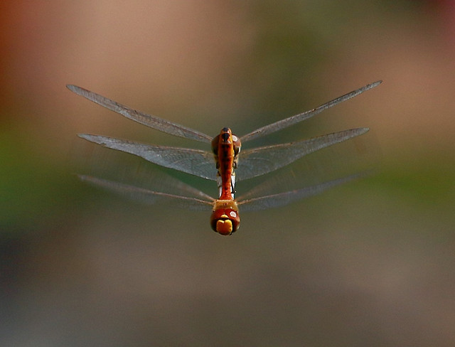 insect-dragonfly-invertebrate-wildlife-fly picture material