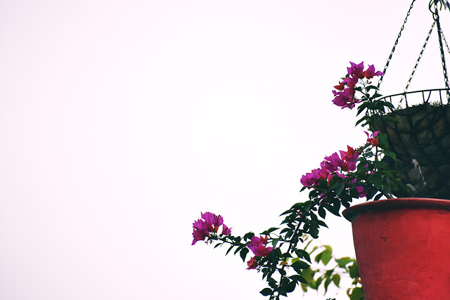 pot-of-flower-and-blank-space picture material