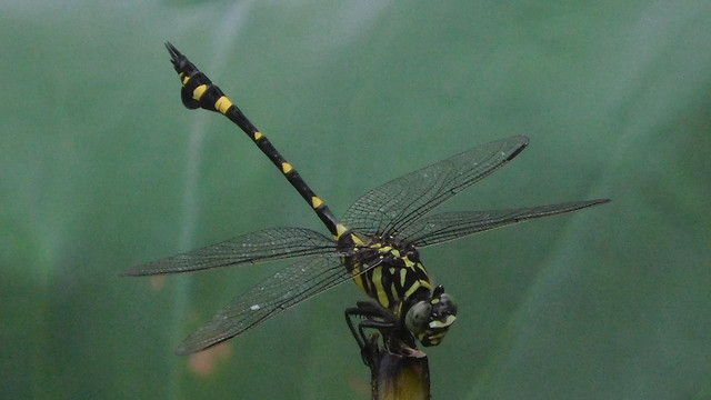 dragonfly-insect-no-person-wildlife-invertebrate picture material