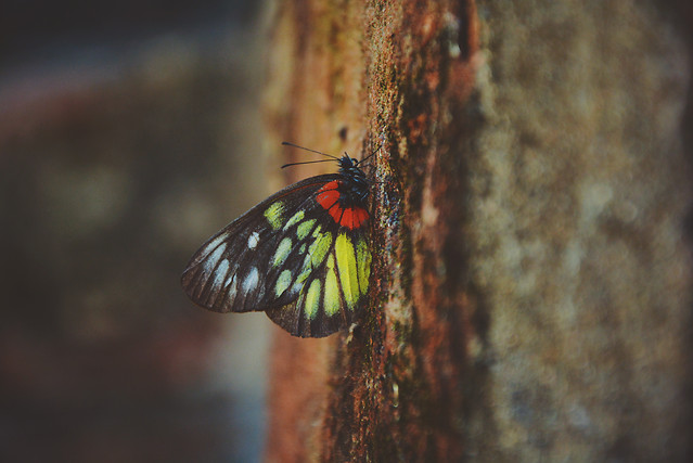 butterfly-insect-nature-no-person-wildlife picture material
