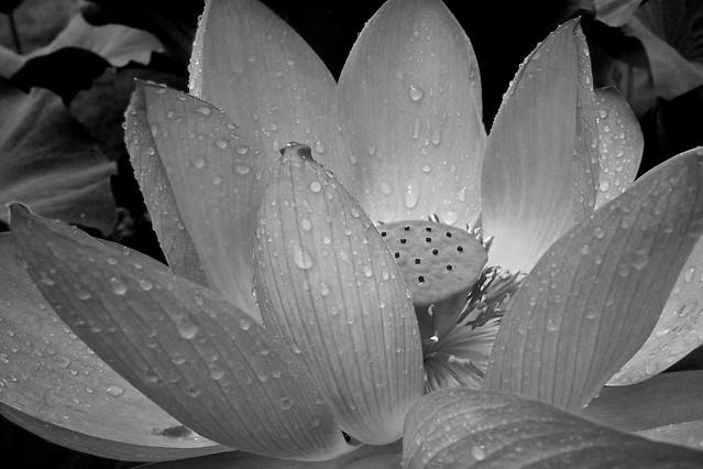 flower-nature-white-monochrome-no-person picture material
