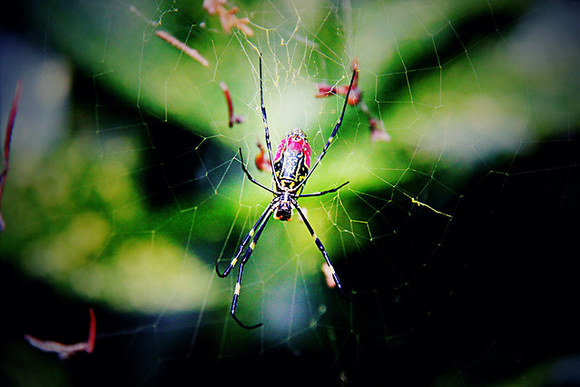 spider-arachnid-spiderweb-insect-cobweb picture material