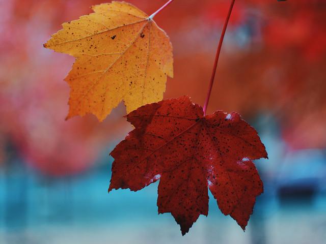 fall-leaf-maple-nature-season 图片素材