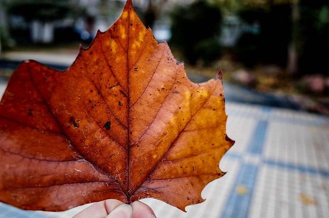 fall-leaf-maple-no-person-nature picture material