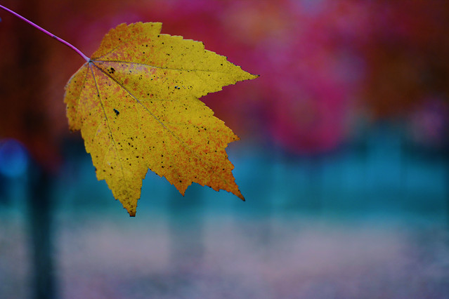 fall-leaf-no-person-nature-bright picture material