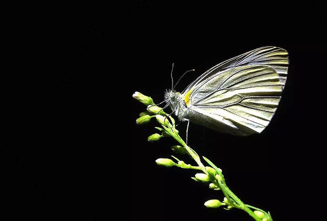 butterfly-insect-nature-no-person-invertebrate picture material