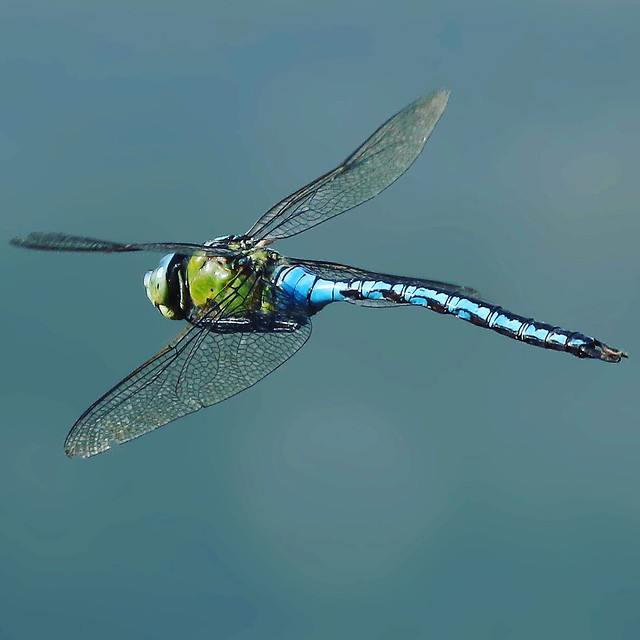 emperor-hawker-dragonfly picture material