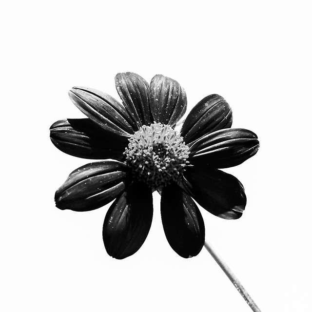 black-flower picture material