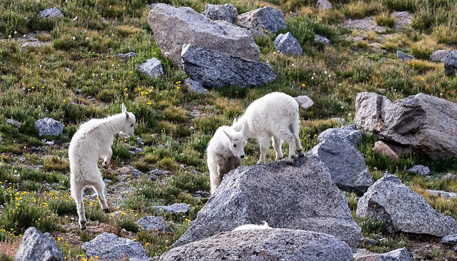 nature-sheep-outdoors-grass-animal picture material