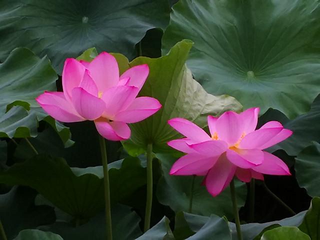 flower-flora-leaf-plant-lotus 图片素材