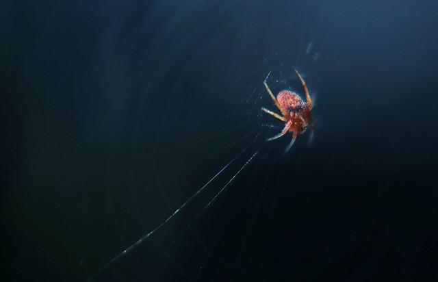 spider-invertebrate-arachnid-insect-no-person picture material