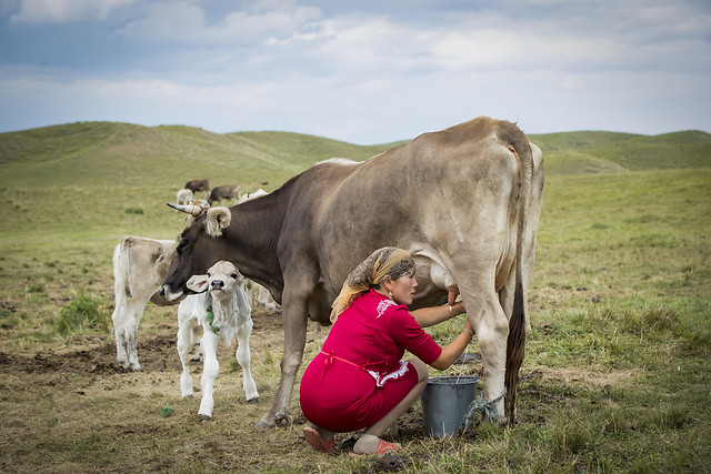 cow-cattle-grass-mammal-livestock picture material