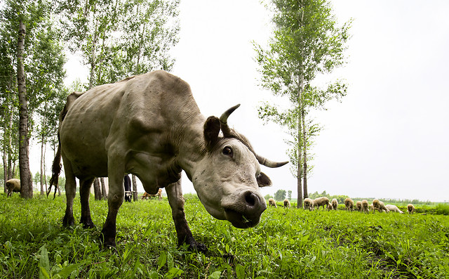 grass-mammal-agriculture-hayfield-green picture material