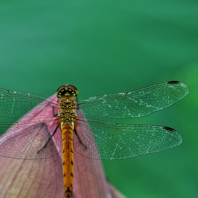dragonfly-insect-nature-wildlife-animal picture material