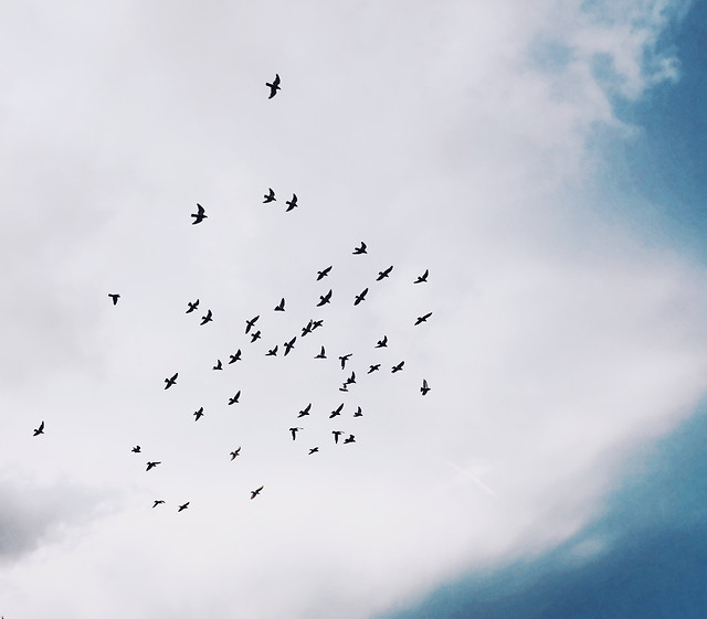 bird-flight-sky-wildlife-goose picture material