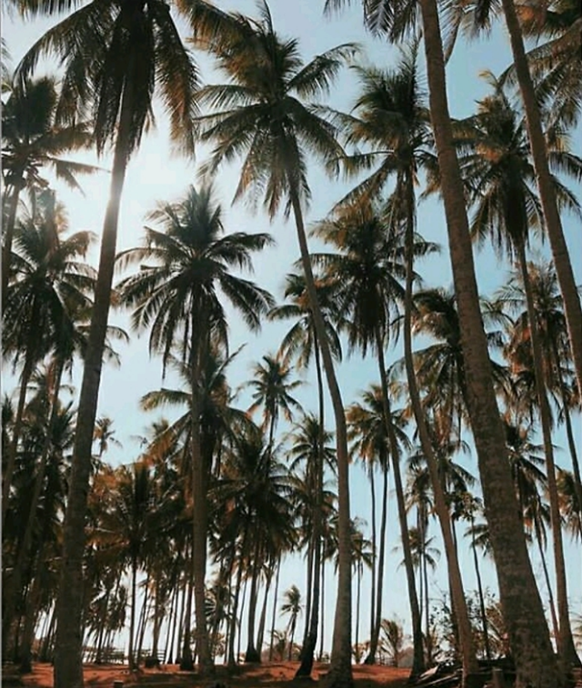 palm-tree-tropical-exotic-no-person picture material