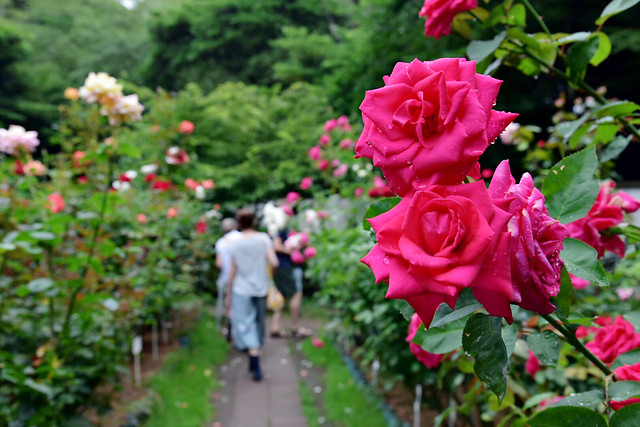 flower-garden-rose-flora-nature picture material