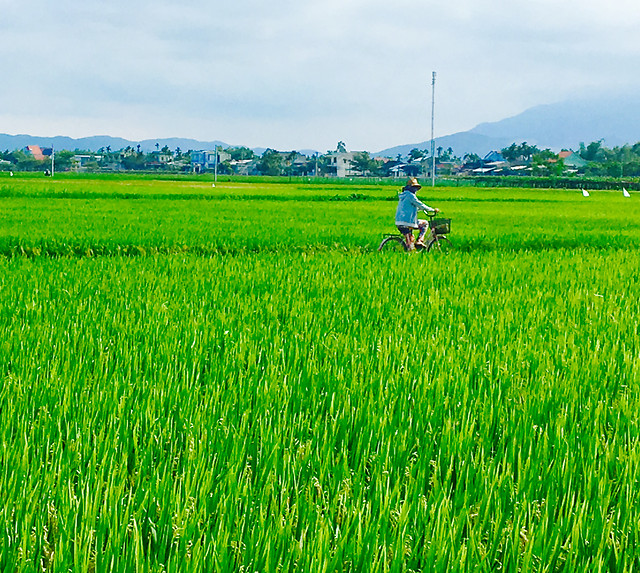rice-paddy-field-cereal-farm picture material