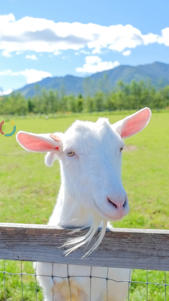 nature-goats-no-person-grass-goat picture material