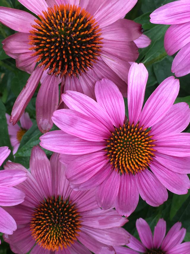flower-flora-nature-garden-summer picture material