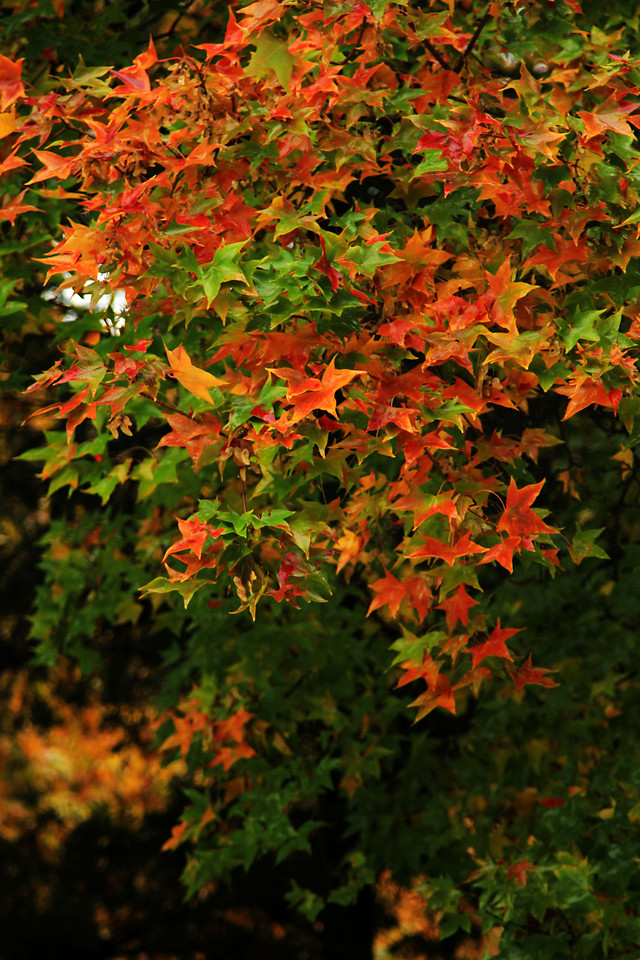 leaf-fall-no-person-tree-maple picture material