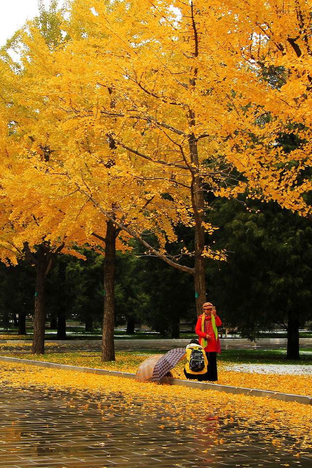 fall-tree-leaf-park-maple picture material