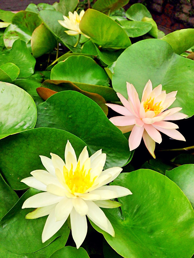 leaf-lily-lotus-flora-flower picture material