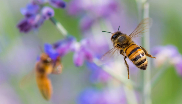 bee-insect-honey-pollen-nature picture material
