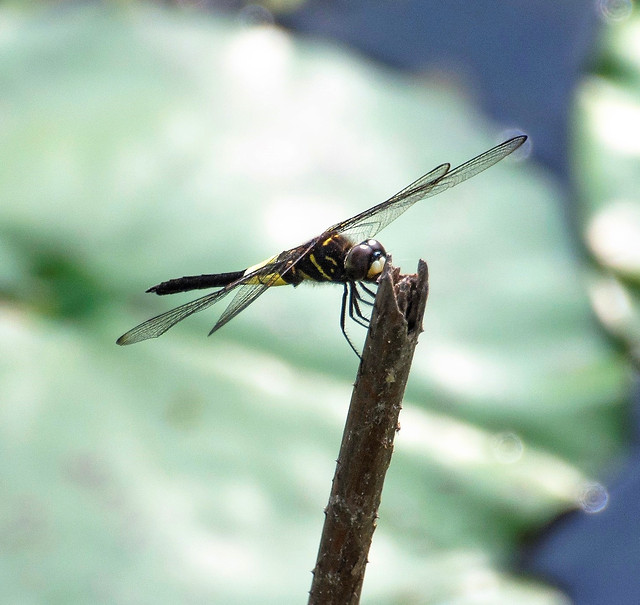 insect-dragonfly-fly-nature-invertebrate picture material
