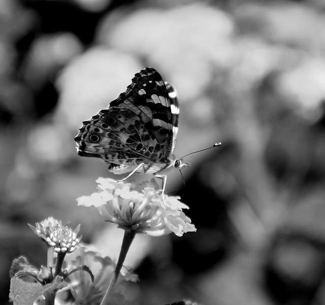 monochrome-nature-flower-no-person-butterfly 图片素材